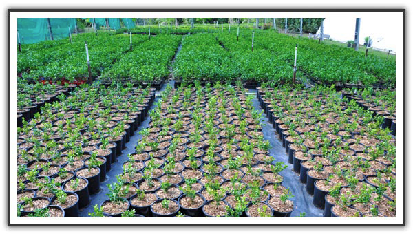 Buxus | Box Hedge | Murraya | Jasmine